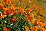 Der Kalifornische Goldmohn liefert ein wichtiges Enzym für die Herstellung von beruhigenden und schmerzstillenden Produkten. Foto: Wikimedia Commons