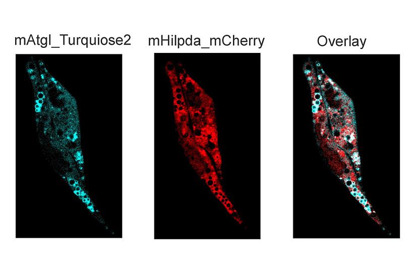 Die Proteine ATGL (türkis) und HILPDA (rot), markiert in einer Zelle: ForscherInnen der Uni Graz haben ihre Wechselwirkung entschlüsselt. Grafik: JLR