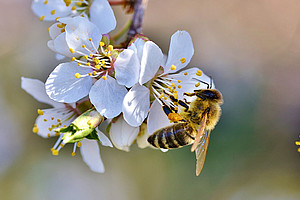 Biene auf Obstbaumblüte Foto: Capri23auto - Pixabay