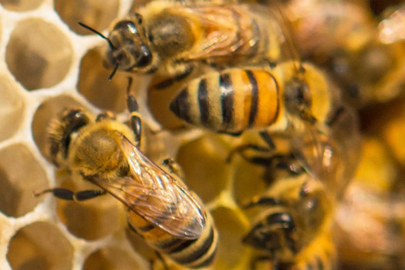 Was die Bienen gesund hält und wie sie am besten überwintern, erforscht Robert Brodschneider unter Mitwirkung von ImkerInnen. Foto: istock/rawinphoto