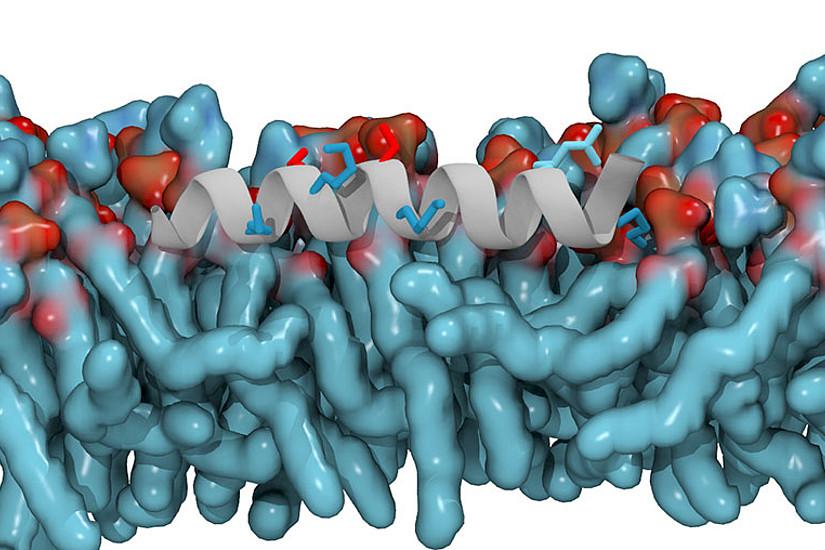 Computersimulation einer amphipathischen Helix in einer Modellmembran bestehend aus Phosphatidsäure und Phosphatidylcholin. Positiv geladene Aminosäure-Seitenketten sind blau, negativ geladene Aminosäure-Seitenketten rot dargestellt. Grafik: Max-Planck Institut Frankfurt, Michael Gecht.