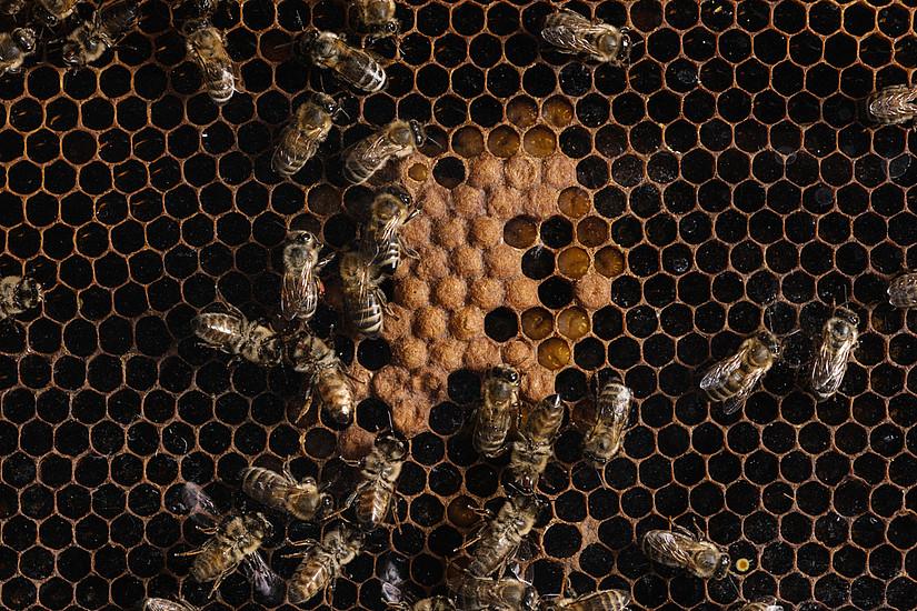 """""""Vom Bienentanz zur Roboterbiene – gesellschaftsrelevante Bienenforschung der letzten 100 Jahre"""" ist Titel der ersten Montagsakademie in diesem Studienjahr. Foto: Uni Graz/Kernasenko"""