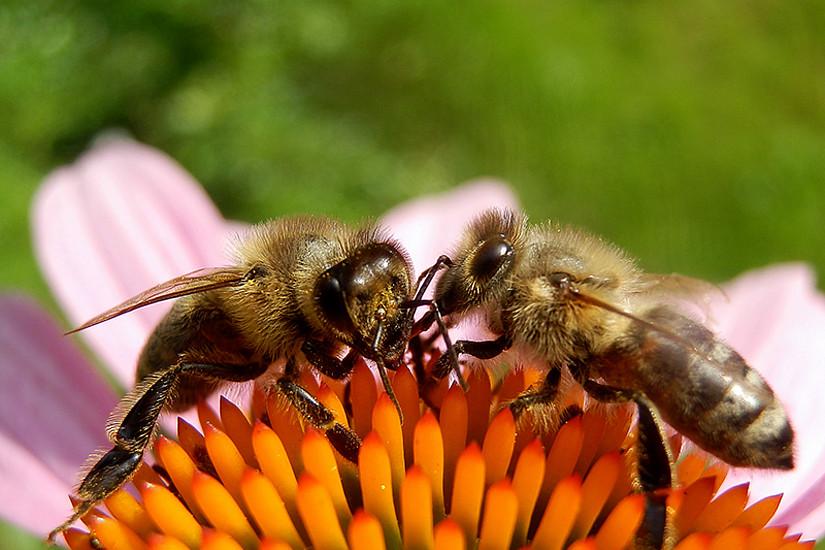 Die Gesundheit der Bienen steht im Ö1 Hörsaal am 11. Juni im Mittelpunkt. Foto:  M. Großmann  / pixelio.de