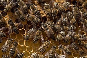 Bienen sind imstande, sich selbst vor Krankheiten zu schützen. Foto: pixabay.com