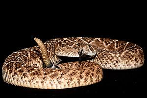 Das Warnsignal der Klapperschlangen haben BiologInnen der Universität Graz entschlüsselt. Foto: Uni Graz