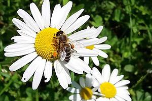 Die Bienenvölker in Österreich sind im Höhenflug: Die heurigen Winterverluste waren ähnlich gering wie im Vorjahr, zeigt eine Studie der Uni Graz. Foto: Uni Graz/Brodschneider