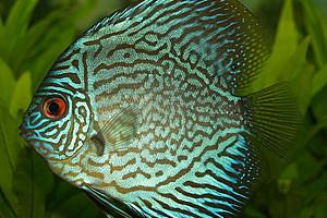 Türkis-grau gemusterter Buntbarsch. Foto: pixabay