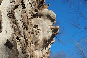 Der Eschenbaumschwamm hat sich am amerikanischen Zürgelbaum im Botanischen Garten breit gemacht. Nun muss der Baum gefällt werden. Foto: Uni Graz/Grube