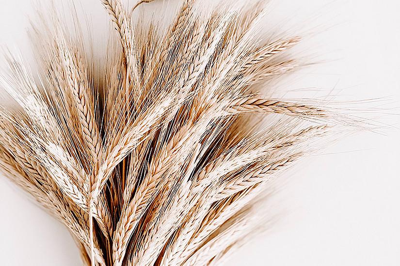 """Weizenkeime enthalten viel Spermidin, ein natürlicher Stoff, der als """"Allround""""-Talent nachweislich viele positive Effekte auf den Körper und dessen Langlebigkeit hat. Foto: pexels.com/Julia Kuzenkov"""