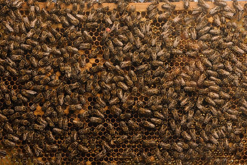Die Bienenvölker in Österreich haben den letzten Winter im Schnitt recht gut überlebt. Foto: Uni Graz/Kernasenko