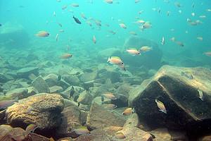 Weltweit einzigartig: die Artenvielfalt im Tanganjika- und im Malawisee. Dort tummeln sich mehrere hundert Tierarten, die jeweils nur in einem der beiden Gewässer vorkommen. Alle Fotos: Koblmüller.