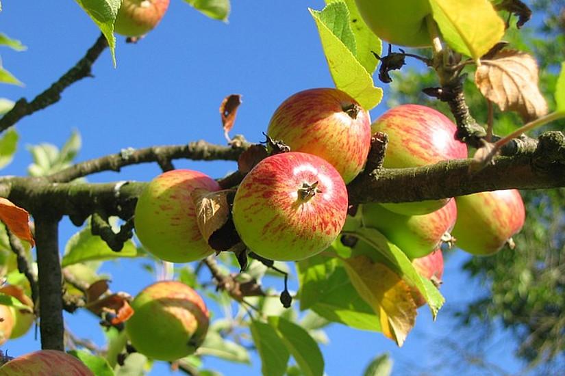 ForscherInnen der Universität Graz haben errechnet, was der Klimawandel durch das steigende Frostrisiko für den Apfelanbau in der Südoststeiermark finanziell bedeutet. Foto: pixabay