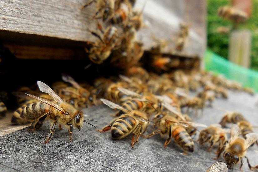 Bienen sollen künftig im eigenen Bienenstock auf äußere Einflüsse reagieren können. Foto: Pixabay.com