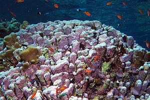Kalkige Rotalgen tragen wesentlich zur Stabilisierung von Riffsystemen bei. Foto: Derek Keats from Johannesburg, South Africa [CC BY (https://creativecommons.org/licenses/by/2.0)]