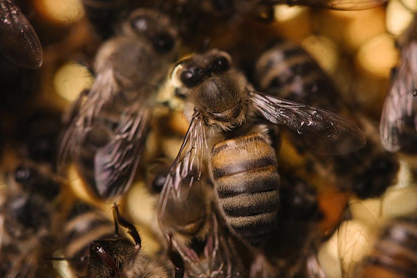 Erwachsene Bienen sind gegen die Faulbrut resistent. ForscherInnen der Uni Graz ist es gelungen, ihren Schutz weitgehend auch auf Larven zu übertragen. Foto: Uni Graz/Kernasenko
