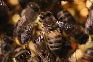 Heute ist Welttag der Biene: Die Universität Graz forscht die Insekten und ihre Umweltbedingungen das ganze Jahr über. Foto: Uni Graz/Kernasenko