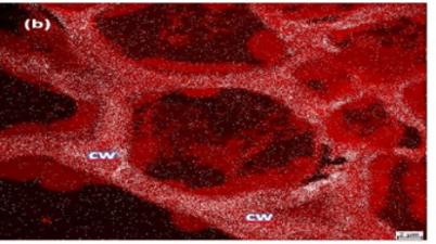 NanoSIMS bild von Algenzelle die räumliche Verteilung von Arsen in der Zellwand zeigend