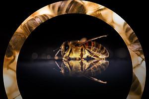 Bienen im Fokus der Forschung Foto: David Hablützel - Pixabay