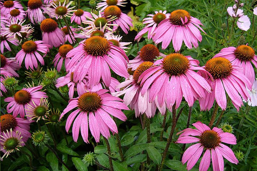 Was ist dran an der Heilkraft von Sonnenhut und anderen Heilpflanzen? Der Botanik Brunch verrät mehr dazu. Foto: pixabay.com