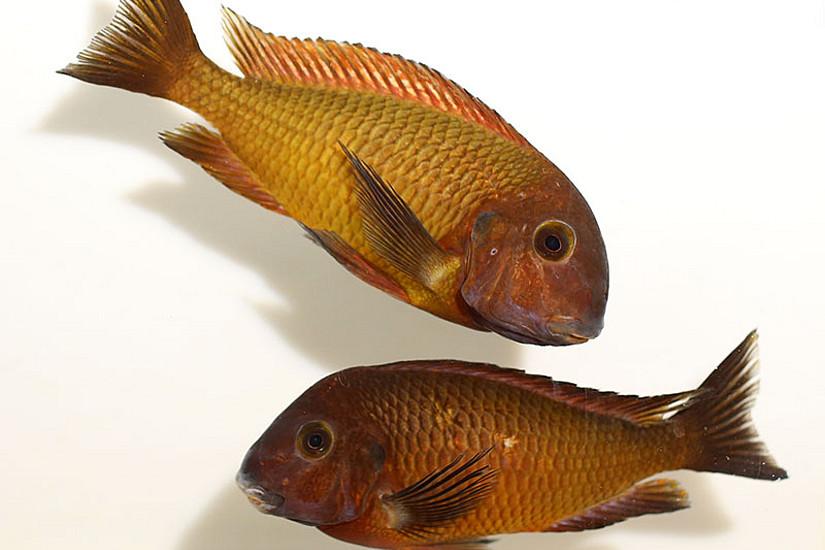 Die an der Südspitze des Tanganjikasees lebenden gelbe Buntbarsche sind das Ergebnis einer Kreuzung aus roten und blauen Fischen. Foto: www.pisces.at/Wolfgang Gessl