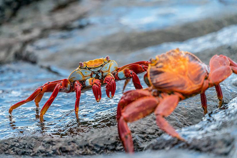 Krabben verteidigen ihr Territorium