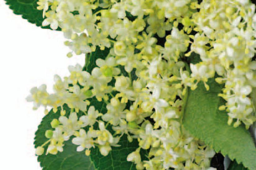 Flyer-Cover: Holunderblüte