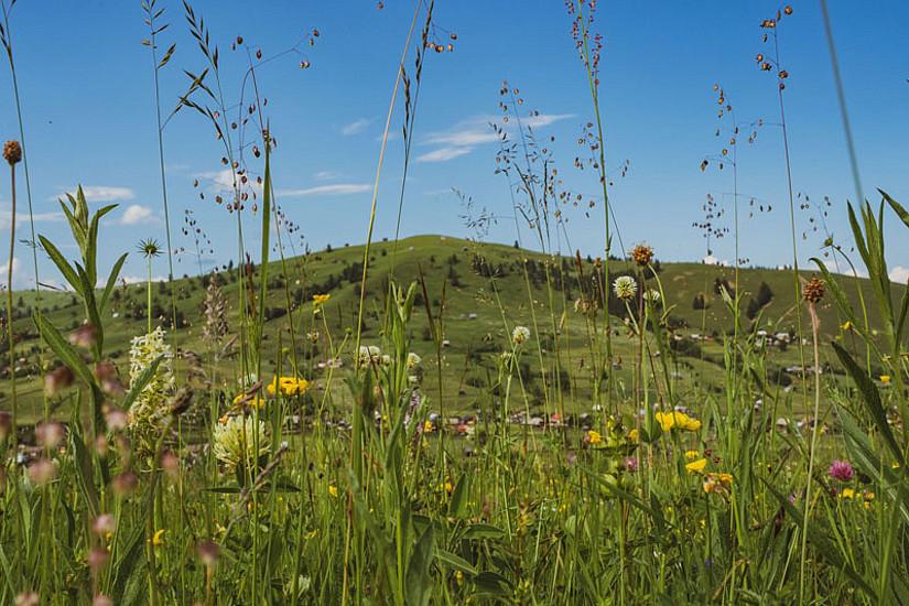 Bunte Pracht in den Karpaten: ForscherInnen der Uni Graz wollen diese Artenvielfalt auch auf heimischen Wiesen wiederherstellen. Foto: Uni Graz/Magnes