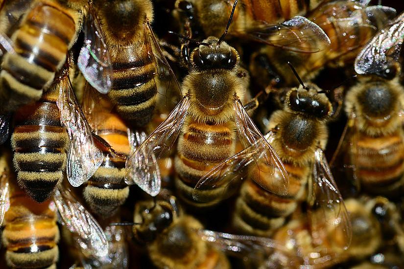 Die Honigbienen in Österreich haben den heurigen Winter gut überstanden. Foto: Pixabay
