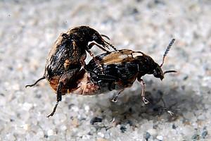 Samenkäfer bei der Paarung. Foto: Dr. Janos Bodor