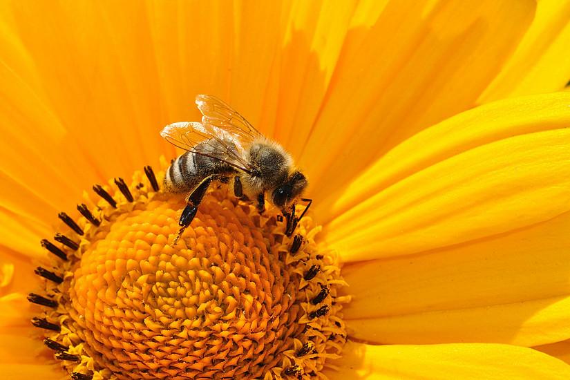 Der Rückgang vieler Bestäuber könnte massive Auswirkungen auf die Lebensmittelproduktion haben. Der neue Biodiversitätsrat warnt eindringlich vor Folgen des Artensterbens. Foto: Katja - pixabay.com