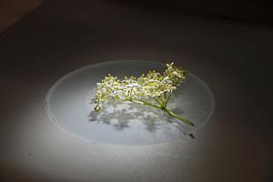 Holunderblüte unter dem Mikroskop