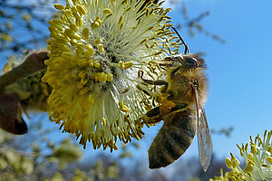 Die Gesundheit der Bienen steht im Zentrum eines neuen Forschungsprojekts, an dem die Uni Graz wesentlich beteiligt ist. Foto: pixelio.de