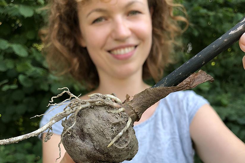 Wissenswertes über die Konjakwurzel und andere Knollen gibt es beim Botanik Brunch am 9. September 2018. Fotos: Uni Graz/Grüner