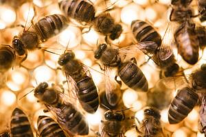 Gelée Royal fungiert bei Bienen gleichsam als Impfstoff, um den Nachwuchs vor Krankheiten zu schützen. Foto: Uni Graz/Kernasenko