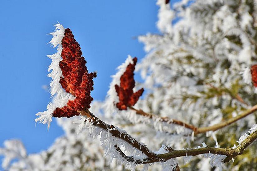 Knospen auf Baum mit Raureif. Foto pixabay