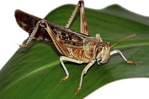 Wanderheuschrecken der Art Schistocerca gregaria können besonders schnell auf drohende Kollisionen reagieren. Ihre Neurone dienen der Technik als Vorbild. Foto: Uni Graz/Eklaude