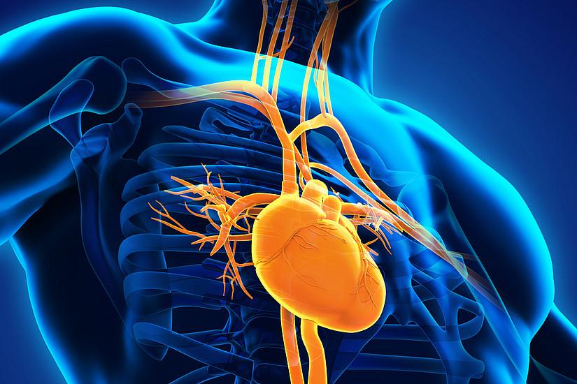 """Zu viel Fett im Herz muss nicht unbedingt zum Problem werden, solange es """"ordnungsgemäß"""" gespeichert wird, um bei Bedarf als Energielieferant zu dienen. Grafik: Schutterstock"""