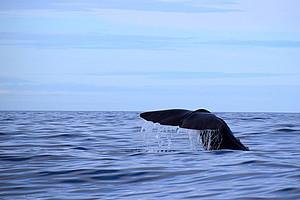 Warum stranden Wale? WissenschafterInnen gehen diesem Phänomen nach. Foto: Pixabay.com/MartinKra