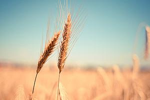Spermidin ist eine natürliche Substanz, die unter anderem in Weizenkeimen, Nüssen und Pilzen enthalten ist. Ein Forschungsteam aus Graz, Berlin und Innsbruck hat nun gezeigt, dass die Substanz auch die Gedächtnisleistung verbessert. Foto: pixabay.com