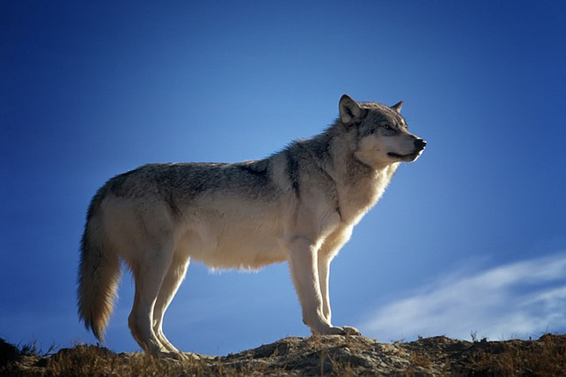 Sinnbild der Freiheit: Der Wolf ist nur rund 80.000 Jahre alt und damit sehr viel jünger als bislang angenommen. Foto: tpsdave/pixabay.com