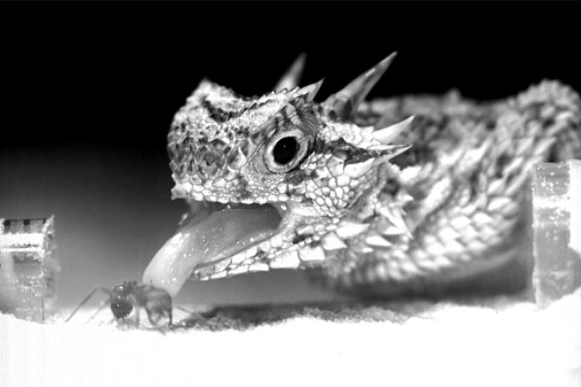 Die Krötenechse hat eine Strategie entwickelt, wie sie die Ernteameise trotz gefährlicher Mundwerkzeuge und Giftstachel fressen kann.