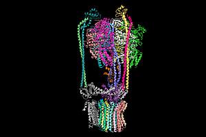 Struktur der V-ATPase von Hefe, sichtbar gemacht mit Kryoelektronenmikroskopie. Bild: erstellt von Zangger/Uni Graz, publiziert von Zhao, J., Benlekbir, S., Rubinstein, J.L.  (2015), Nature, 521 241-245