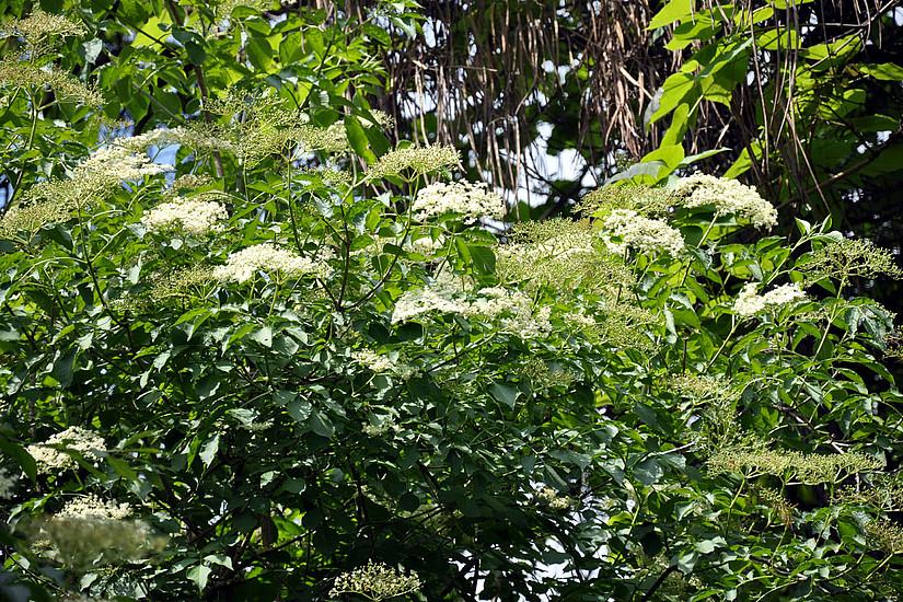 Holunderstrauch in Blüte